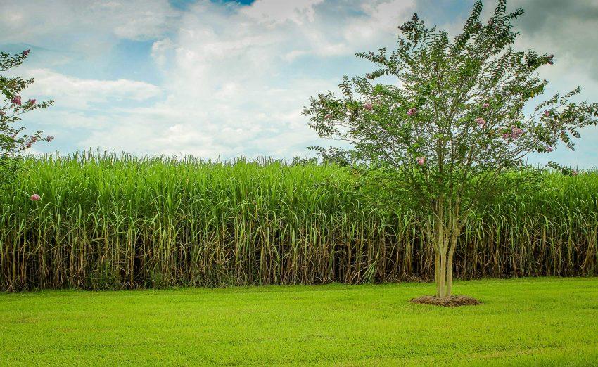 sugarcane-439880_1920